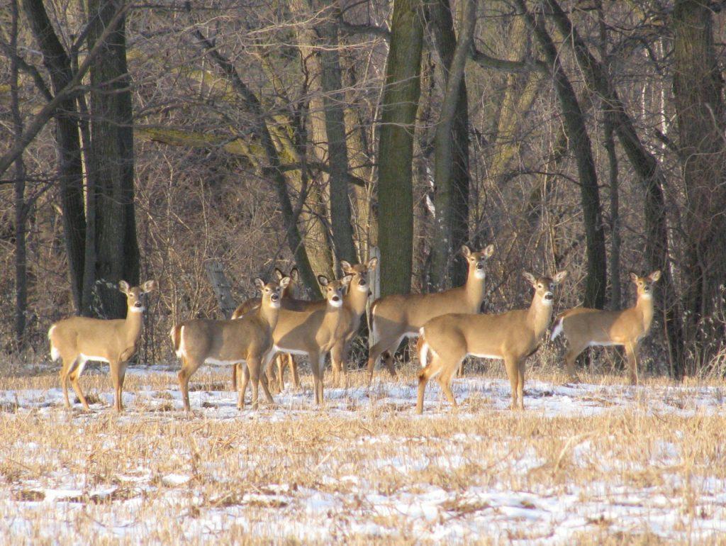 Deer in Rouge Park