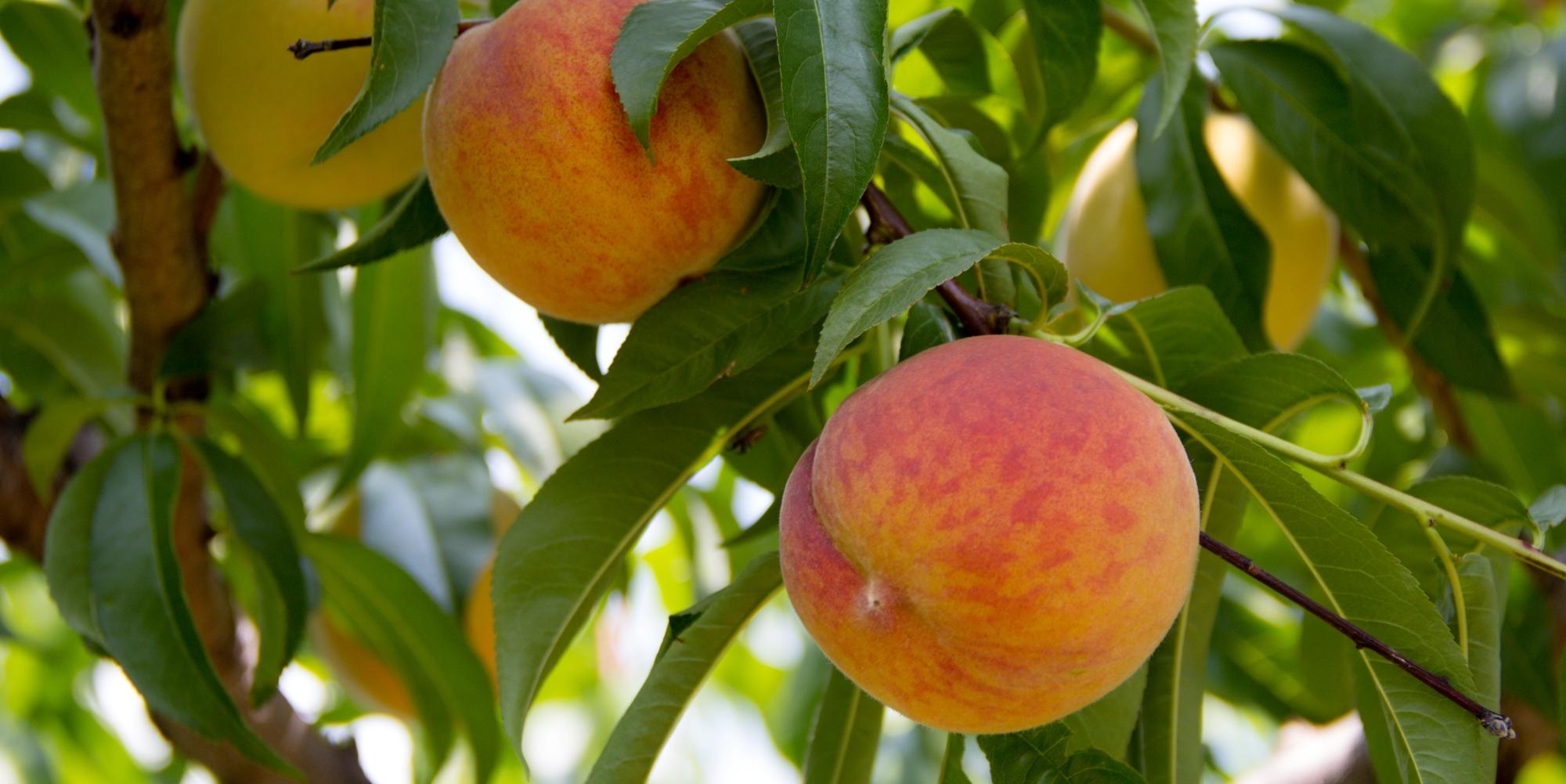 Nila Sivatheesan Photo Ontario Peaches 2014-08-06