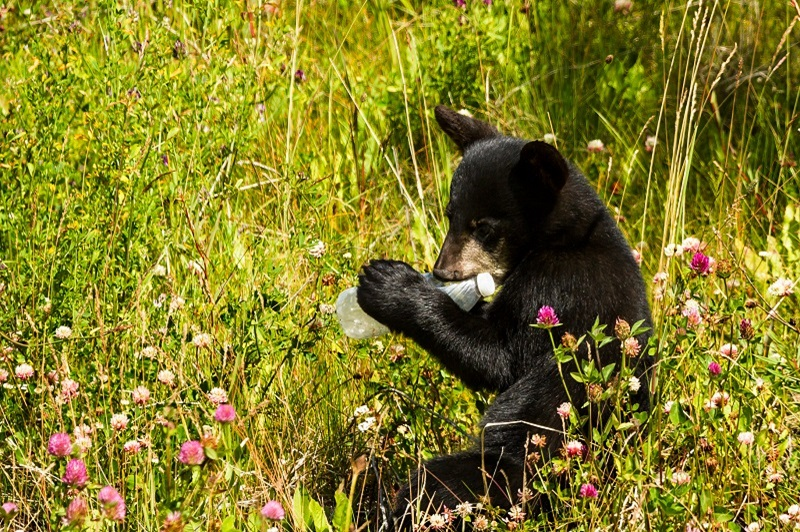 Tragic scene of what happens when litter is found by wildlife. This baby bear cub found a plastic bottle that someone left outside and is chewing on it, curious about the unnatural object. Could be used to raise awareness about problems with littering and trash