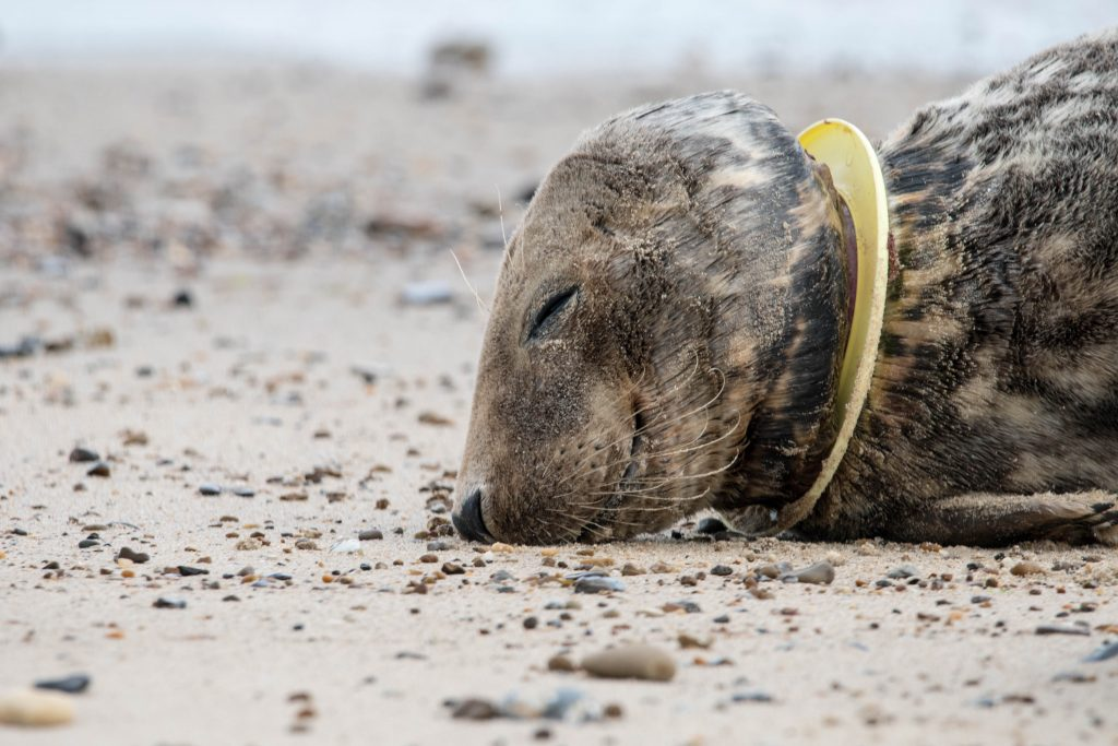 Seal with plastic Frisbee stuck on neck