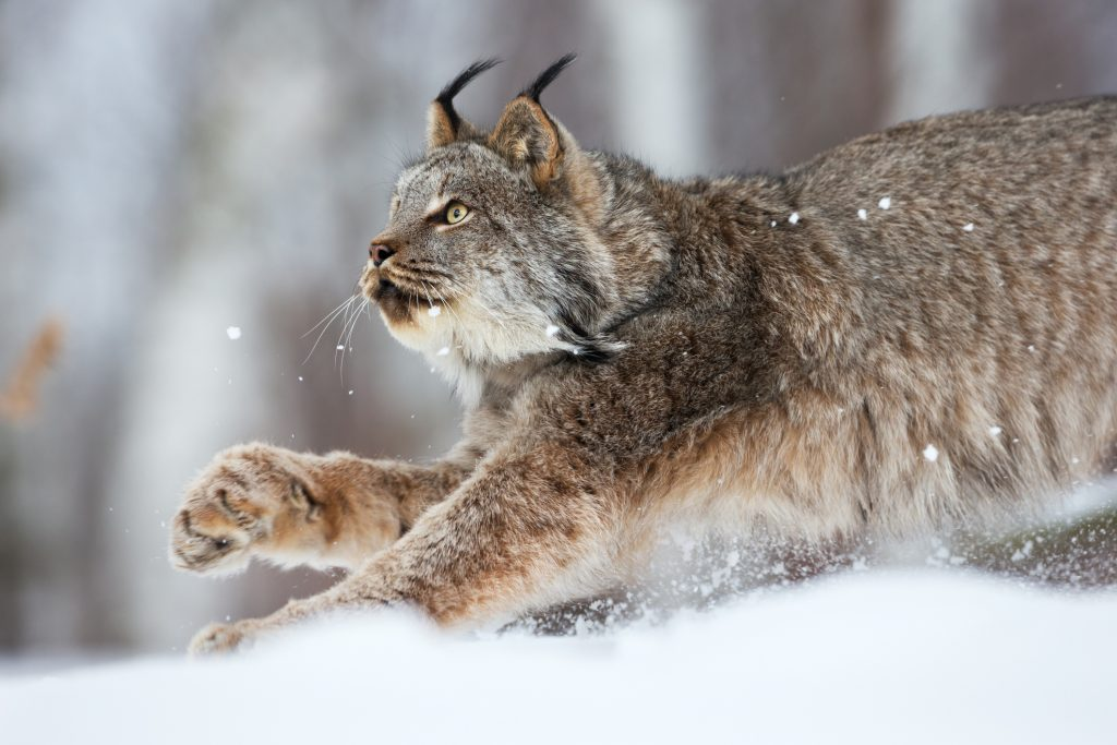 Canada Lynx on the prowl. Canada Lynx are already under threat from the disruption of their habitats.