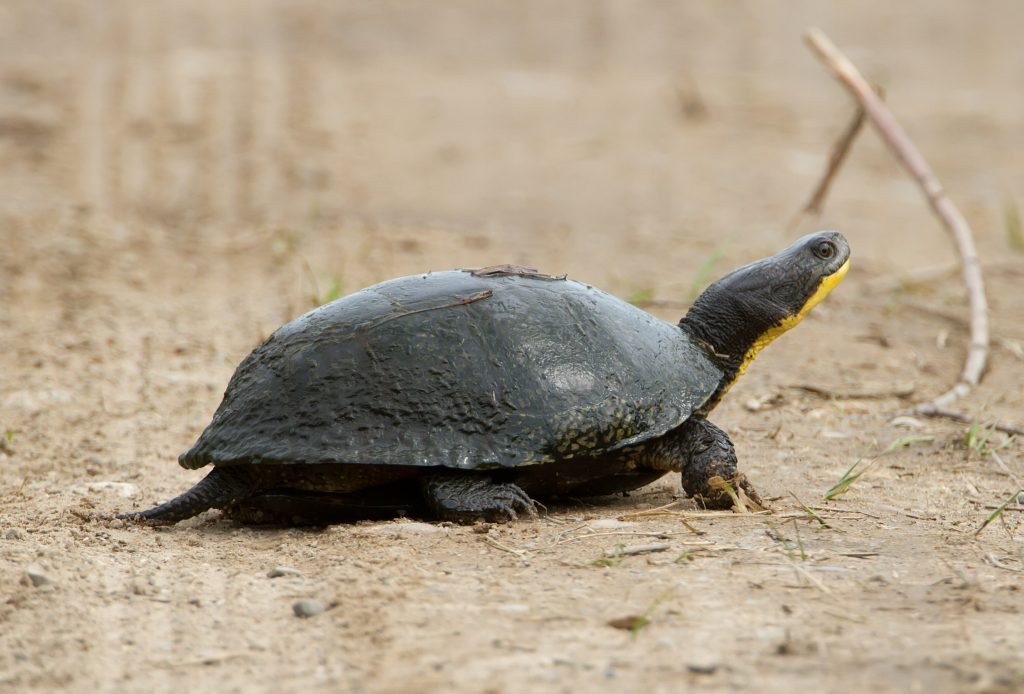 The endangered blanding's turtle could be impacted by increased quarries and pits.